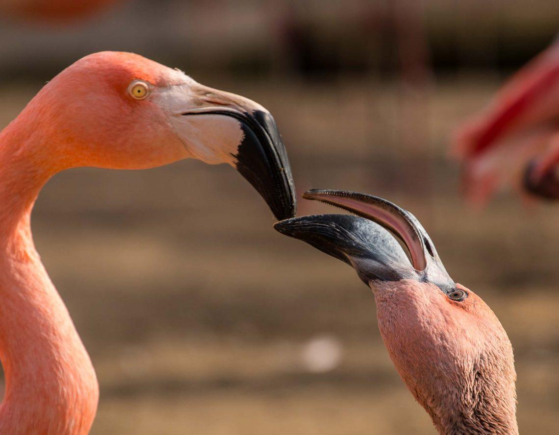 Flamingofütterung