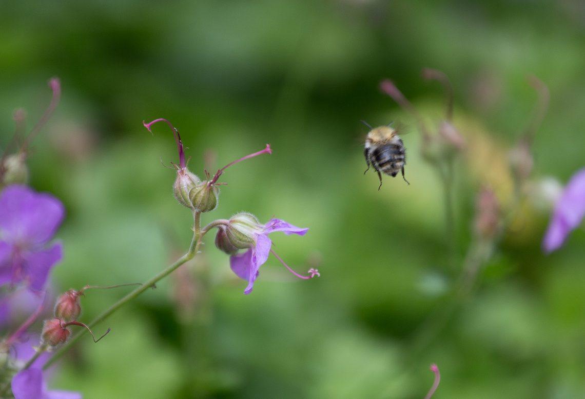 Biene im Abflug