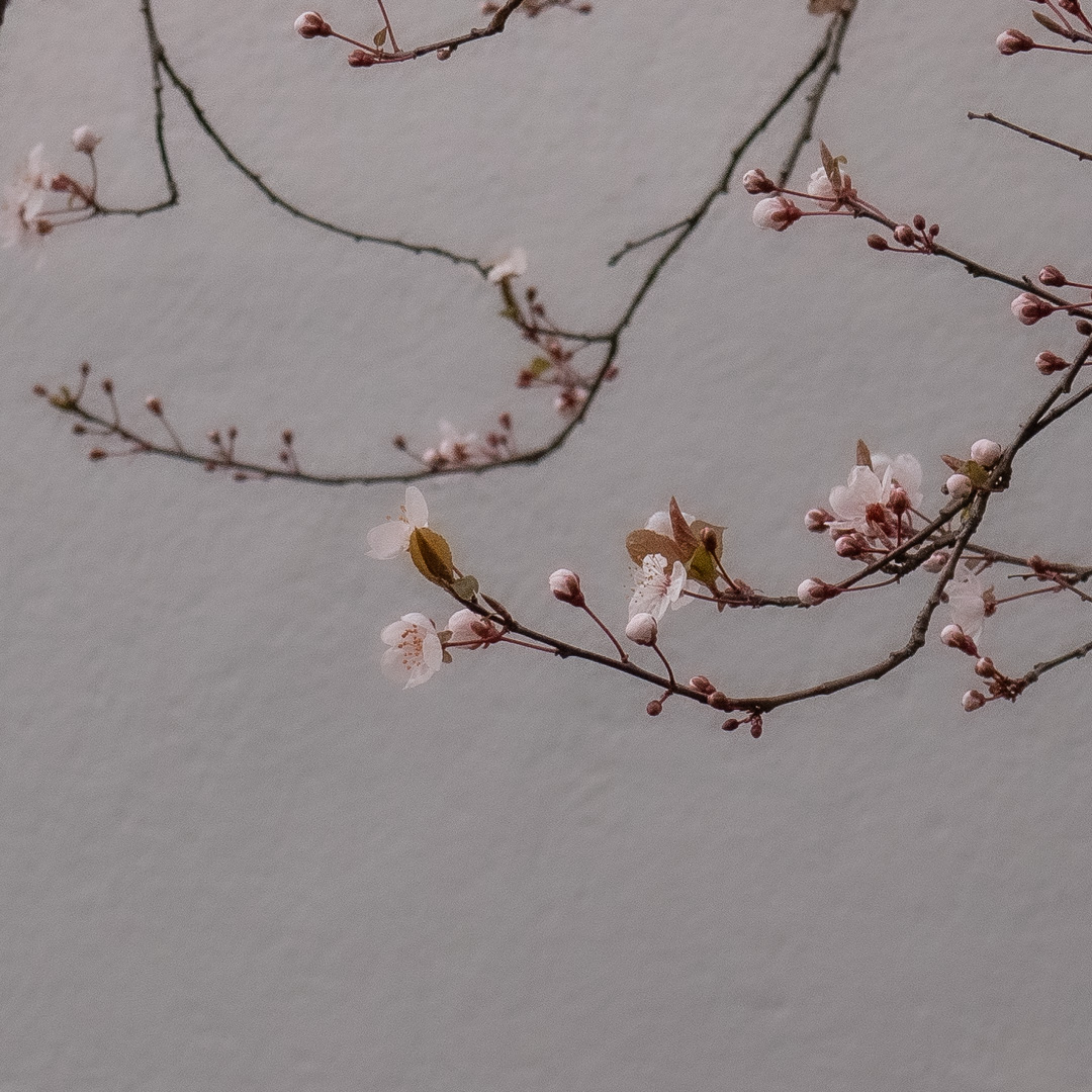 Zarte Kirschblüten - der Frühling lockt sie hervor - sie schaukeln im Wind ⛩ (Marion Schmidt)