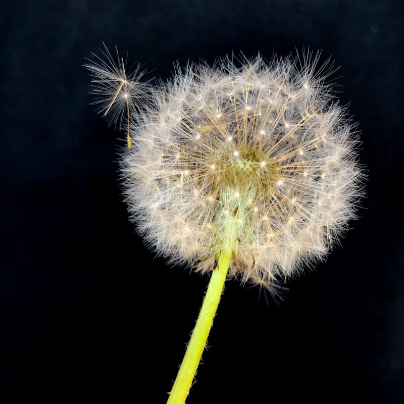 Saki-michite koboruru hana mo nakari-keri ⛩ Übervoll erblüht- doch keine von diesen Blüten will fallen.(Takahama Kyoshi)