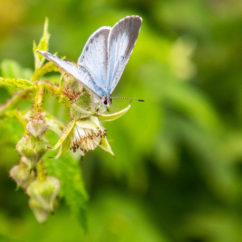 In der Sonnenglut - scheint sogar der Schmetterling - schwarzversengt zu sein! (Ryôta)